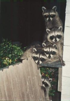 Coons.