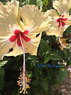 Hibicus flower - Famoso Papo en Panama photo by Lisa Ruizo @lisaruizo