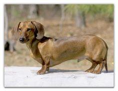 Dachshund Photo Gallery | Dachshund : The Dogs Breeds