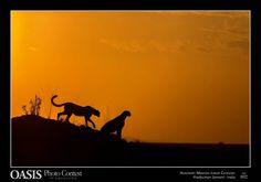 Sono considerati gli Oscar della fotografia naturalistica. Anche quest'anno la 13esima edizione di Oasis Photocontest ha premiato le migliori immagini di natura e animali in un concorso che ha visto la partecipazione di oltre 24mila fotografie e 66 nazioni partecipanti per le 10 categorie in concors…