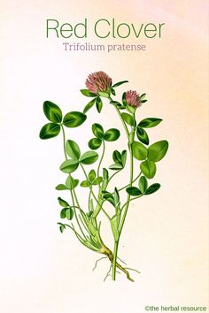 Red Clover Trifolium pratense                                                                                                                                                                                 More