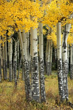Aspens ~ Photography by Stacey Greene trees can be found in Colorado