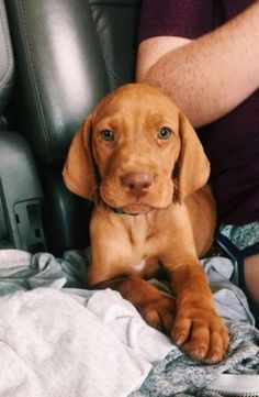 Vizsla puppy🥰 a very sweet and affectionate breed Cute Dogs And Puppies, I Love Dogs, Puppy Love, Doggies, Cute Baby Animals, Animals And Pets, Funny Animals, Vizsla Puppies, Cute Creatures