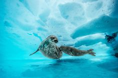 explores the vibrant underwater world of Antartica with photographer Laurent Ballesta Climate warming is melting the ice caps and we need to take action to save these beautiful animals. Underwater Images, Underwater World, National Geographic, Life Under The Sea, Emperor Penguin, Ocean Life, Animal Photography, Wildlife Photography, Mammals
