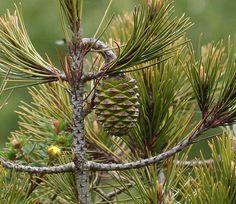 Pinus nelsonii (Nelson's Pinyon) - immature cone