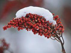 Snow covered sumac berries
