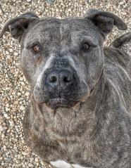 """15-140 """"HERO"""" Pit Bull Terrier Adult • Male • Large Town of Babylon Animal Shelter  West Babylon NY"""