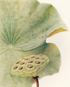 Lotus, watercolour on vellum. Lotus Painting, Lily Painting, Plant Painting, Korean Painting, Japanese Painting, Nature Illustration, Botanical Illustration, Botanical Flowers, Botanical Prints