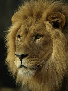 Lion by TBR62, via Flickr