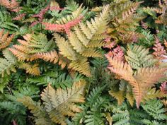 """Dryopteris koidzumiana. A very striking fern whose young fronds are intensely brick red aging eventually to russet green. Erect rhizome with upright fronds have 8-10 pair of pinnae. Plant in light sun to dappled shade & well drained, moist soil. Zones 7b to 10. Height: appx. 24"""". Evergreen."""