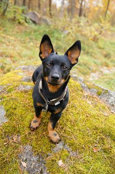 I also would love one of these babes! miniature pinscher. When I have a job that doesn't require 60hr work weeks.. Someday.