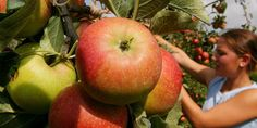 Obst zum Selberpflücken: Hier können Sie in und um Köln ohne Garten ernten | Kölner Stadt-Anzeiger
