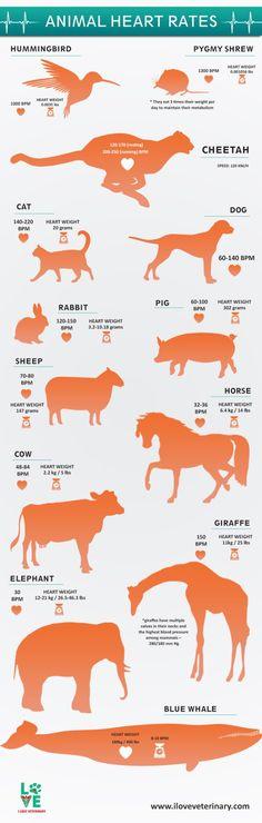 Animal Heart Rates - I Love Veterinary Veterinarian School, Veterinarian Technician, Vet Tech Student, Vet Assistant, Animal Medicine, Pet Vet, Vet Clinics, Animal Science, Veterinary Medicine