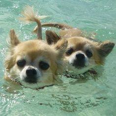 Swimming chihuahuas #Chihuahua