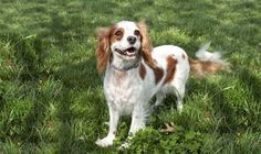 http://www.cavalierrescueusa.org/component/k2/item/727-maggie-in-rogers-ar.html