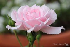 Jane McGrath Rose by JDW