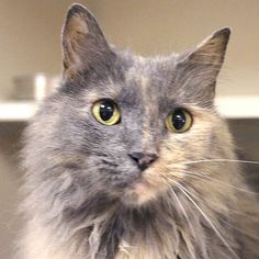 Tortoise Shell Calico Cat | , dilute tortie domestic long hair cat. If a sweet, gentle lap cat ...