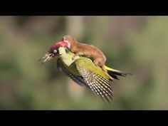 Weasel Flying on a Woodpecker. In what must have been a surreal moment, Martin Le-May witnessed a weasel flying on the back of a woodpecker. Although an even...