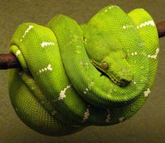 Emerald green tree boa...what my kindergartners have been studying for 3 weeks now!