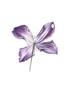 Clematis- from the back these flowers have a silvery appearance - Jarnie Godwin Art