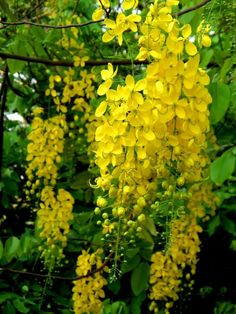 Asian Flowers, Simple Flowers, Amazing Flowers, Beautiful Flowers, Yellow Plants, Yellow Flowers, Flower Birthday Cards, Garden Trees, Flowering Trees