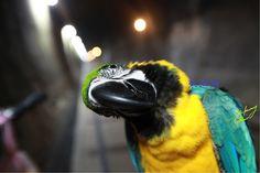 macaw VIOR