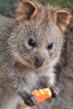 This gorgeous Quokka Joey has just exited mums pouch at the Taronga Zoo. The quokka /ˈkwɒkə/ (Setonix brachyurus), known locally as the Kangaroo Rat, is a small marsupial about the size of a domestic cat. http://en.wikipedia.org/wiki/Quokka