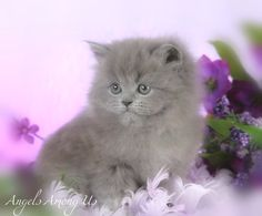 ... Cats For Sale on Pinterest | Fluffy Kittens, Teacup Persian Cats and Fluffy Teacup Kittens