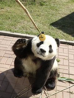Panda Eats Mooncake for Mid-Autumn Festival - Baby Animals, Cute Pets, Zoo Animals : People.com
