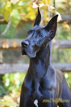 """Excellent """"great dane puppies"""" detail is available on our web pages. Check it out and you wont be sorry you did. Cute Dog Costumes, Dog Halloween Costumes, Weimaraner, I Love Dogs, Cute Dogs, Black Great Danes, Dane Puppies, Great Dane Puppy, Tier Fotos"""