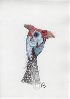 Guinea Fowl - one of a selection of stunning detailed ballpoint art drawings of birds by wildlife artist Anthony Watkins