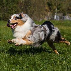 Outside Magazine: 20 Best Dog Breeds to Run With | 4. Australian Shepherd