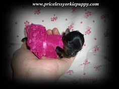 www.pricelessyorkiepuppy.com Exceptional Quality Is Not Expensive, It's Priceless! Yorkshire Terrier Puppy Breeder Specializing In Tiny Yorkie Puppies For Sale in Michigan Teacup Yorkie For Sale, Yorkies For Sale, Yorkie Puppy For Sale, Pets For Sale, Teacup Puppies, Puppies For Sale, Yorkshire Terrier Breeders, Miniature Yorkshire Terrier, Yorkshire Terrier For Sale