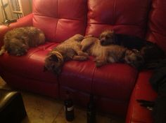My border terriers, the gap on the settee is for me