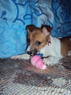 This is Leia the Rat Terrier who loves her puppy KONG