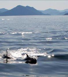 Dolphins, islands, water in Haida Gwaii / Queen Charlotte Islands