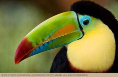 Costa Rica Photography: colorful Keel-billed Toucan image by Todd Gustafson.