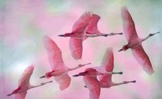 Rosette Spoonbills saw one in flight before amazing!!!
