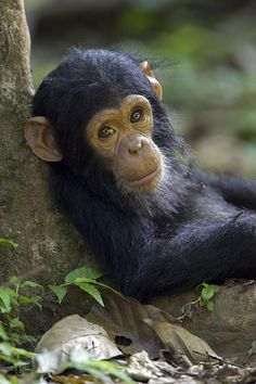 chimpanzee | Baby Chimpanzee In Gombe Stream Np Photograph - Baby Chimpanzee In ...
