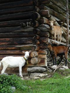 goats in front of a log cabin #goatvet