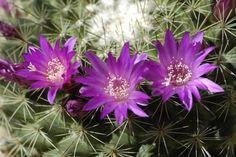 Purple Cactus Flower