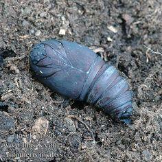 Сатурния Ио (Automeris io) - бабочка из семейства павлиноглазок ^__^ — Еxotic zoo: редкие и удивительные животные