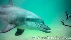 #golfinho #golfinhosfofos #golfinhos #golfinhosvideos S Videos, Whale, Fish, Pets, Animals, Diving, Dolphins, Animales, Animaux