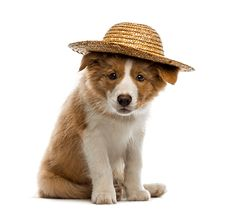◛ [GET]◉ Border Collie Puppy Wearing A Straw Hat Animal Animal Fashion Border Collie Brown Canine Carnivore Cute Puppies, Cute Dogs, Dogs And Puppies, Cute Puppy Pictures, Puppy Pics, Border Collie Pictures, Beware Of Dog, Border Collie Puppies, Puppy Breeds