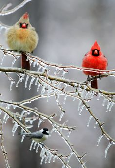 Three Birds - male and female cardinal + 1 chickadee.. had all of these at my feeder today .. as well as the snow storm..gotta love Minnesota!!