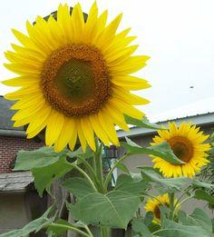 Brilliant Sunflowers @ home