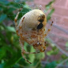 The Orb Weaving Spider Common House Spiders, Types Of Spiders, Big Spiders, Wild Animals Attack, Animal Attack, Red Widow Spider, Hobo Spider, Huntsman Spider, Spider Species
