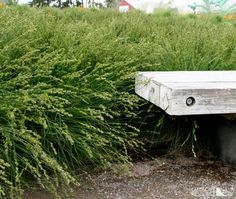 Image result for Carex native european