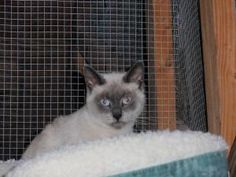 Mona is an adoptable Siamese Cat in Dahlonega, GA. Mona is about a year old and your typical Siamese. It's all about her. In fact she did not like me taking her picture, but I think the flash was both...