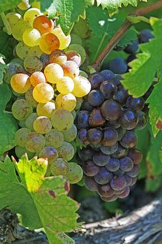 Muscat is a variety of white wine grape with skin that can range from white to nearly black in color. It is grown in Australia, Austria, France, Italy, Portugal, Spain, South Africa, the United States and many other countries. The flavor and aroma has floral and peach notes. This grape is most famous in Italy for Moscato d'Asti. Muscat grapes are often used to make dessert wines.